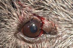 Bissverletzung Oberlid Meerschwein vor OP