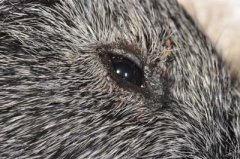 Bissverletzung Oberlid Meerschwein nach OP
